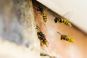wasps on roof